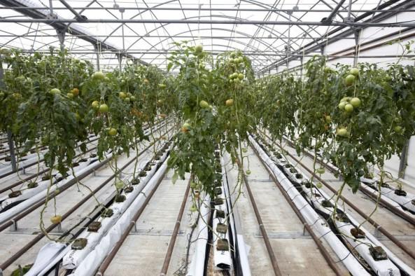 greenhouse_invernadero_2-1024x682