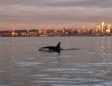 Northwest Orca